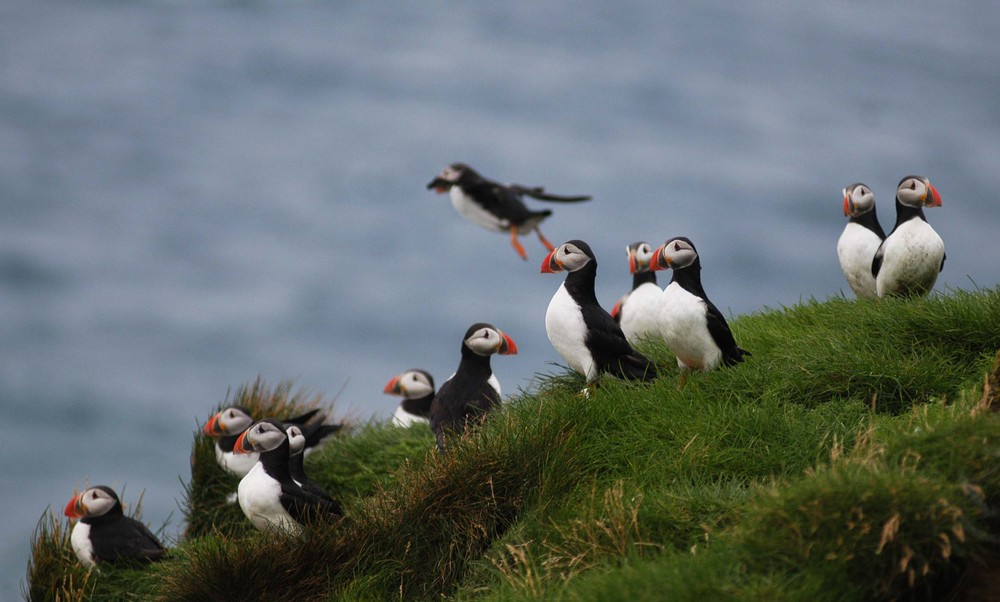 Puffin colony in Iceland on a bird watching tour.