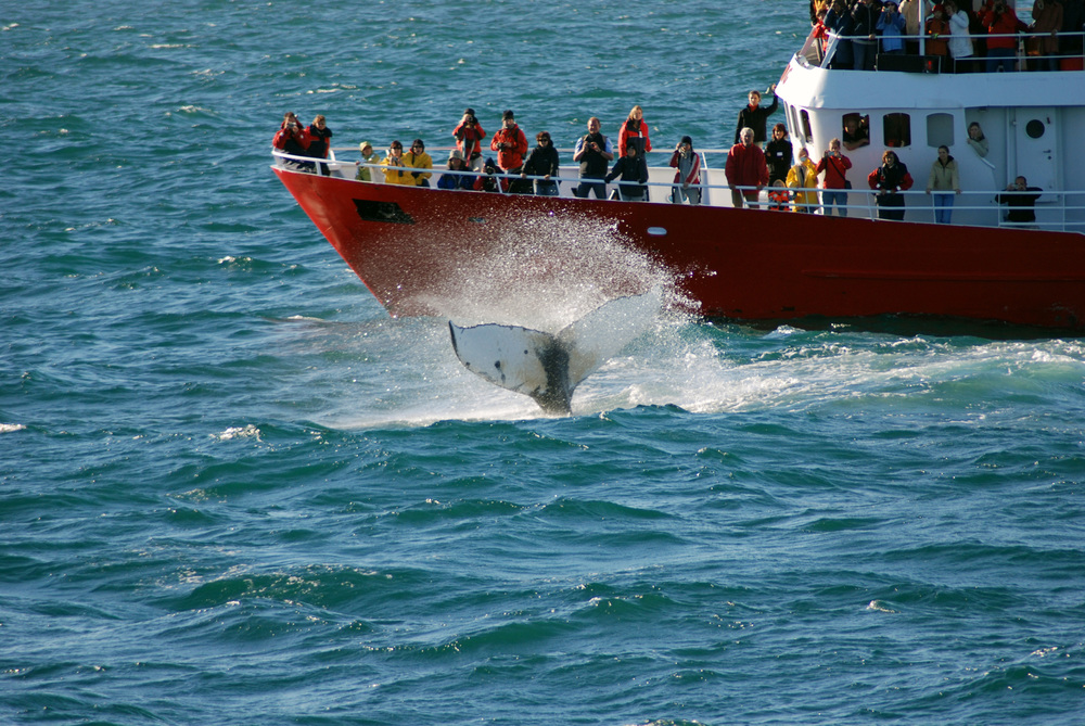 Elding Classic Whale Watching Tour from Reykjavik, Iceland