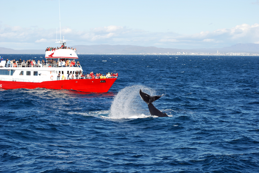 Humpback Tail near boat tour during Classis Whale Watching Tour in Reykjavik, Iceland