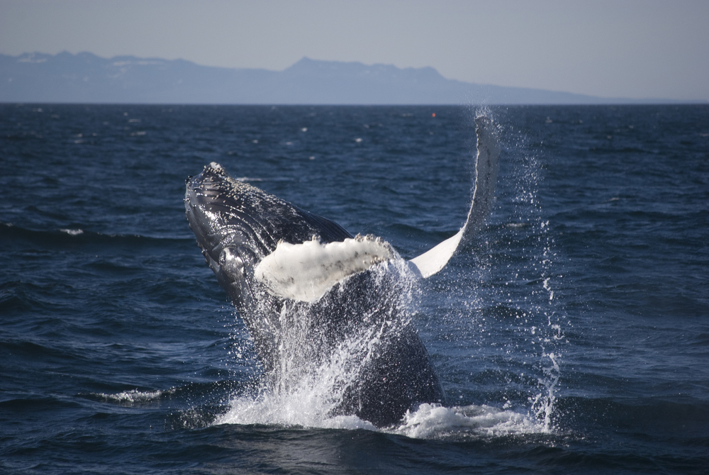 Beautiful breaching Humpback during a Classic Whale Watching in Reykjavik, Iceland