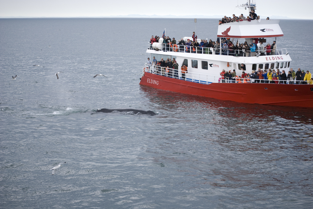 Classic Whale Watching boat filled with happy guests during an exciting  tour in Reykjavik, Iceland