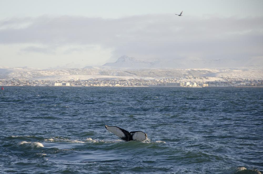 2012-01-21 Humpback Whale 01.jpg