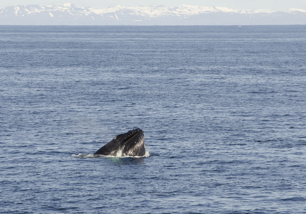 Spectacular Humpback Whale feeding during a Classic Whale Watching Tour in Reykjavik ,Iceland