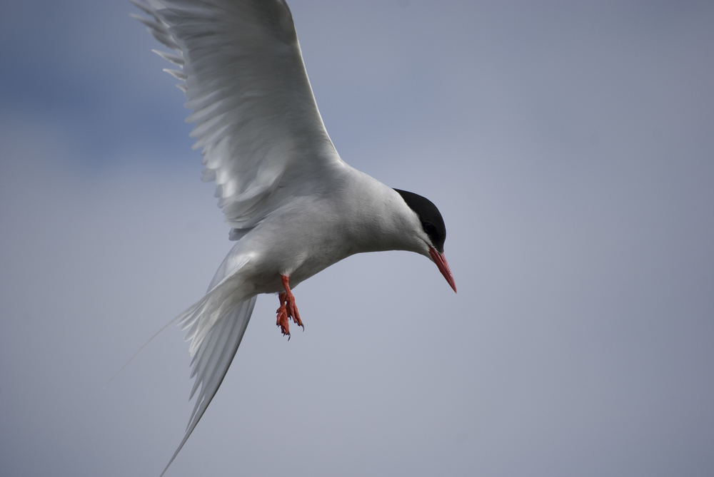 3 Arctic Tern.jpg