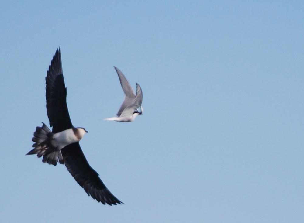 1 Skua Arctic Tern.JPG