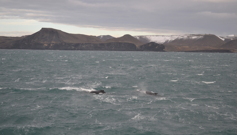A pair of overwintering humpback whales swimming about in the freezing cold February gale at the SW-coast. Sometimes, humpback whales overwinter around the Icelandic coast feeding off capelin