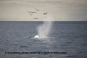 2008-08-06 Humpback Whale 00.jpg