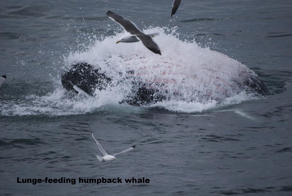 2008-08-01 Humpback Whale 01.jpg