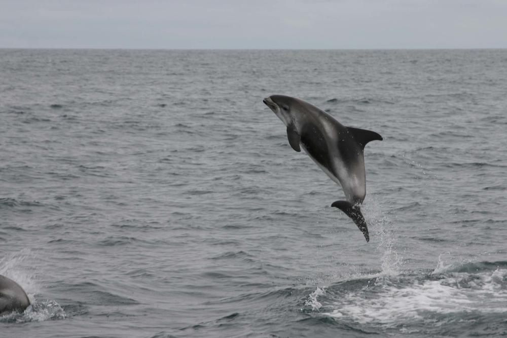 1_3 White-beaked Dolphin_LR_laraosk.jpg