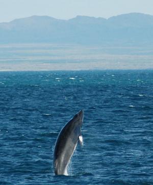 5 Breaching Minke Whale.jpg