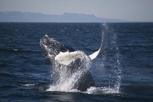 2008-06-11 Humpback Whale 01.jpg