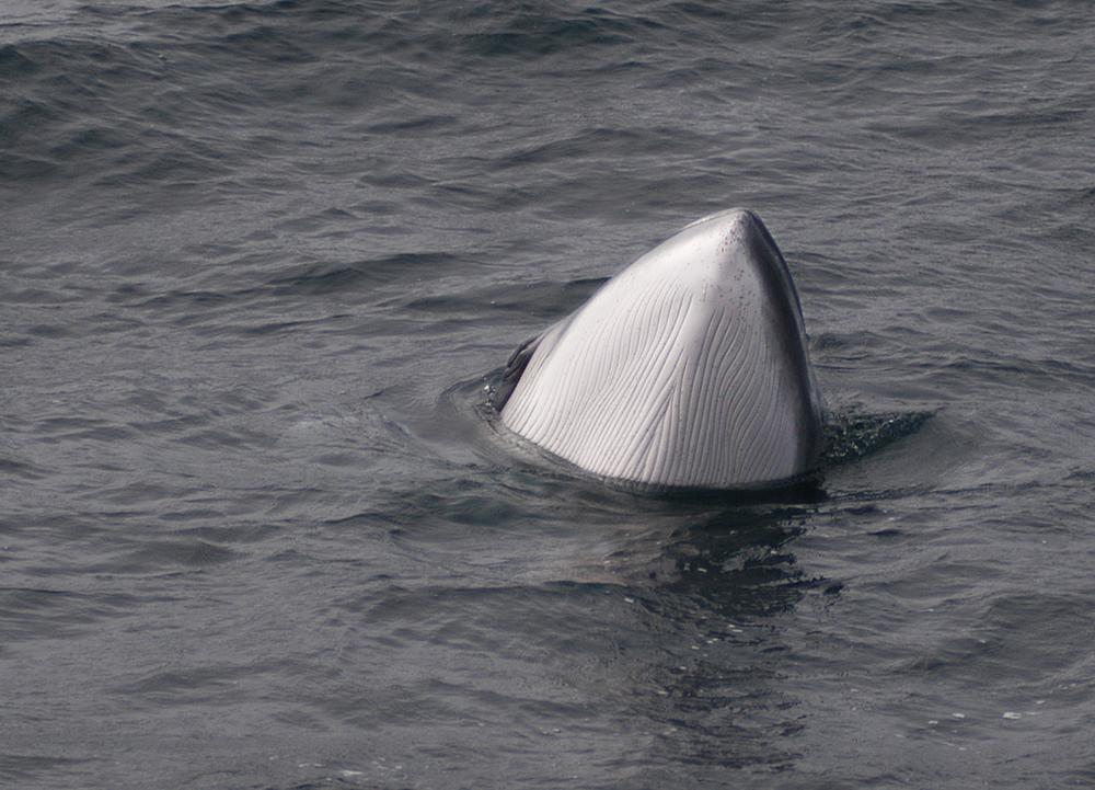 1_3 Minke Whale Spy hop.jpg