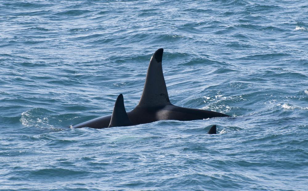 3 Orca Killer Whales.jpg