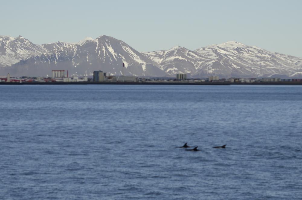 2013-02-16 White-beaked Dolphins 00.jpg