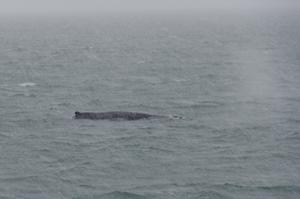 2012-01-20 Humpback Whale 01.jpg