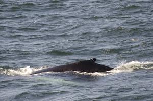 2012-04-20 Humpback Whale 01.jpg