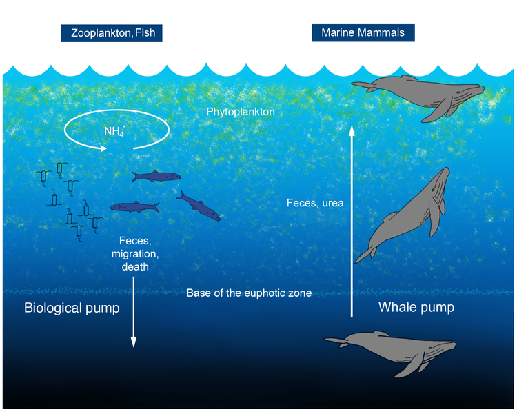 The Whale Pump.  In the common concept of the biological pump, zooplankton feed in the euphotic zone and export nutrients via sinking fecal pellets, and vertical migration. Fish typically release nutrients at the same depth at which they feed. Excretion for marine mammals, tethered to the surface for respiration, is expected to be shallower in the water column than where they feed.  Credit: Peter Roopnarine, Joe Roman, James J. McCarthy. The Whale Pump: Marine Mammals Enhance Primary Productivity in a Coastal Basin. PLoS ONE, 2010; 5 (10): e13255 DOI: 10.1371/journal.pone.0013255
