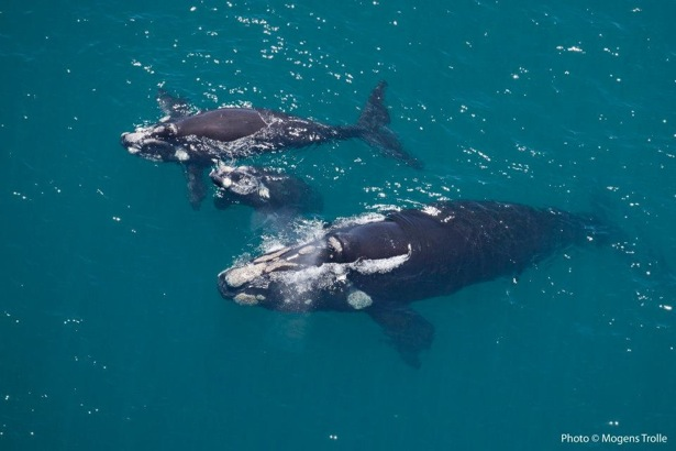 Image showing mother right whale, her calf and another adopted calf (order of calves is not known) is courtesy of Mogens Trolle at the Dyer Island Whale and Dolphin Project and is protected by copyright laws