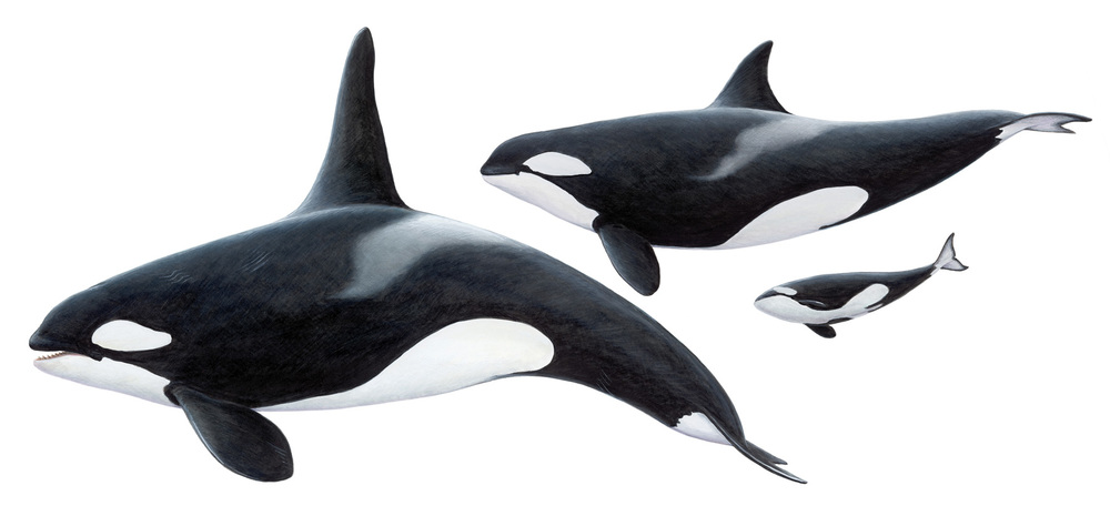 killerwhales