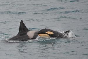 5 Orca Killer Whales_LR.jpg