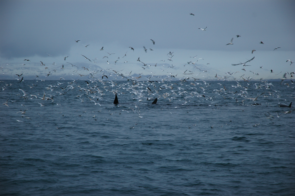 9 Orca and Sea Birds.jpg