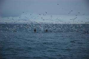 9 Orca and Sea Birds.jpg