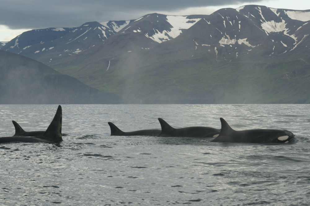 Killer whales in Skjálfandi Bay