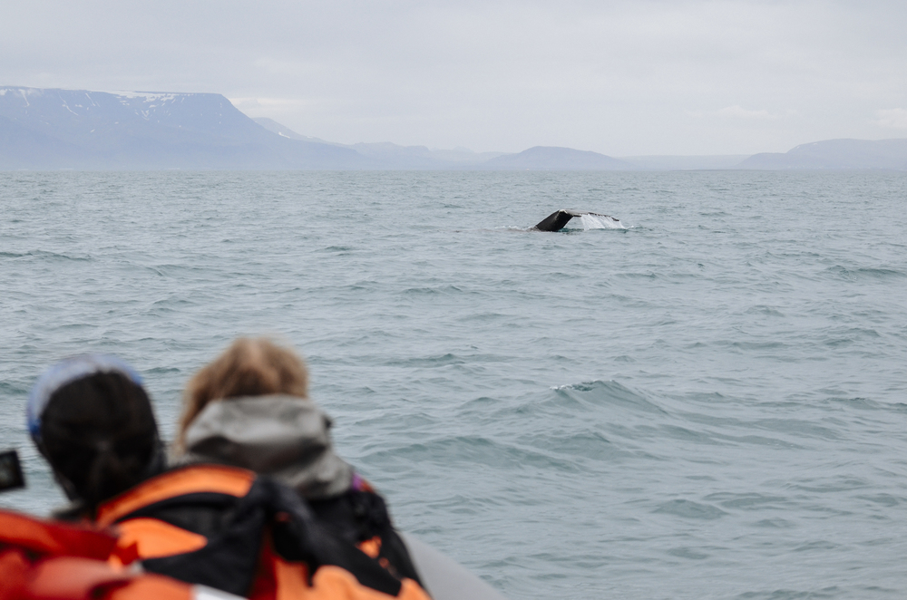Humpback whale tail fluke in Northern Iceland RIB Whale Watching