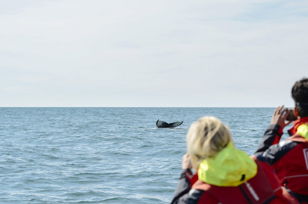 Guest take photo of humpback whale during premium whale watching tour in Iceland