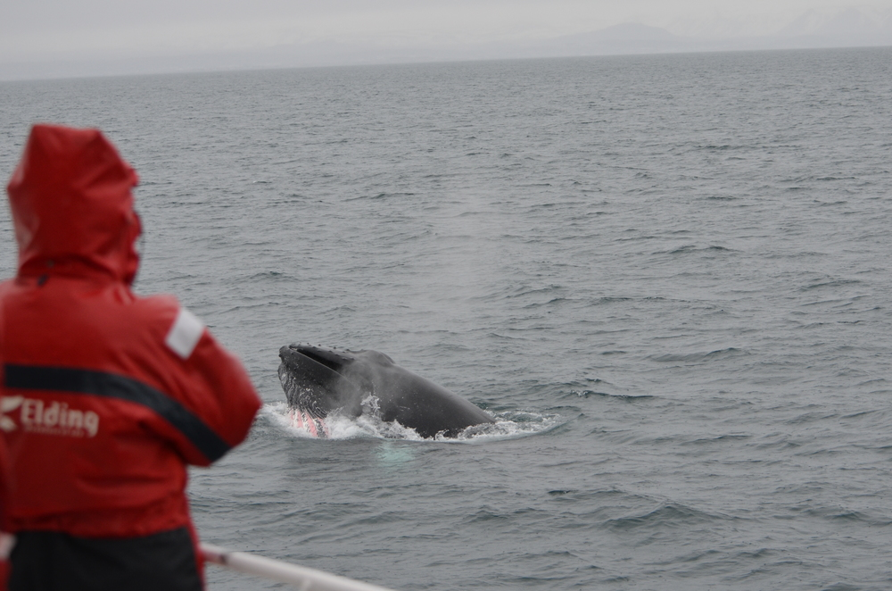 Elding Classic Whale Watching tour in Akureyri, Iceland