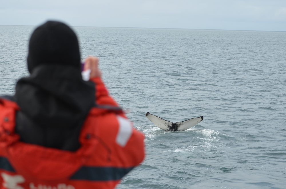 Whale Photography of a Humpback Tail Fluke in Akureyri, Iceland