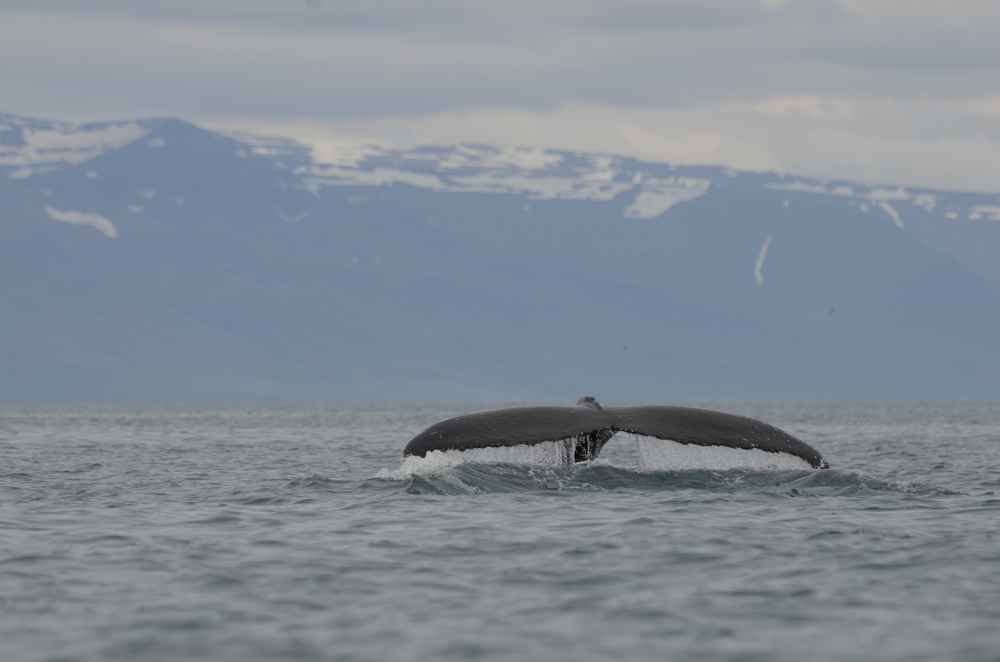 Huge Humpback Tail Fluke spotting during Classic Whale Watching Tour in Akureyri, Iceland