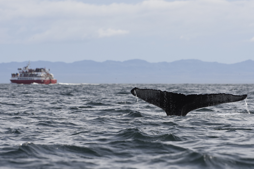 Humpback and ship faraway.jpg