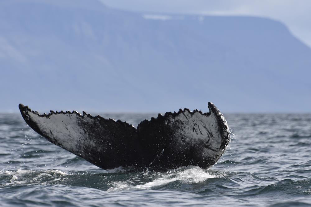 Spectacular Humpback Tail Fluke