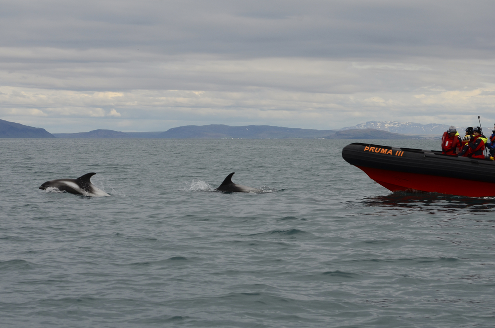Dolphin Watching Tour from Reykjavík
