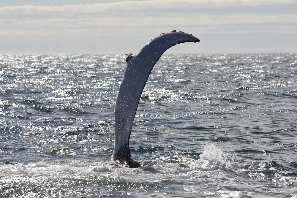 HumpbackFlipper Shot .jpg