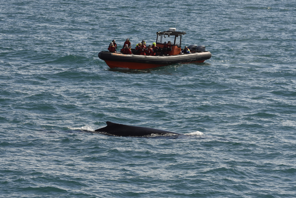 Minke whale surfaces during whale watching tour