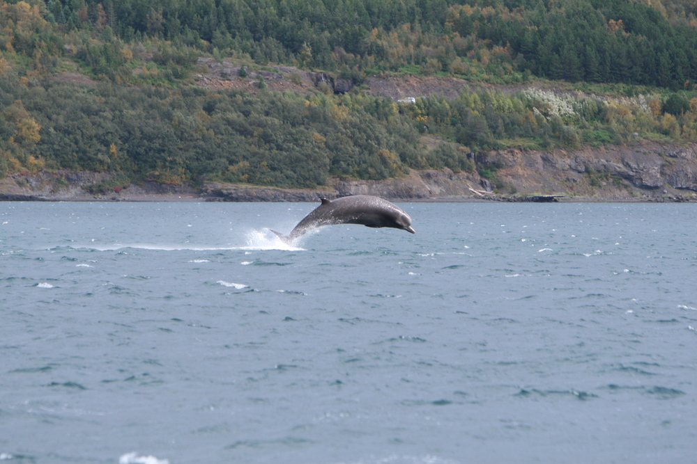 Bottlenose whale (Hyperoodon ampullatus) jumps out of the water at the inner part of Eyjafjörður during the fall