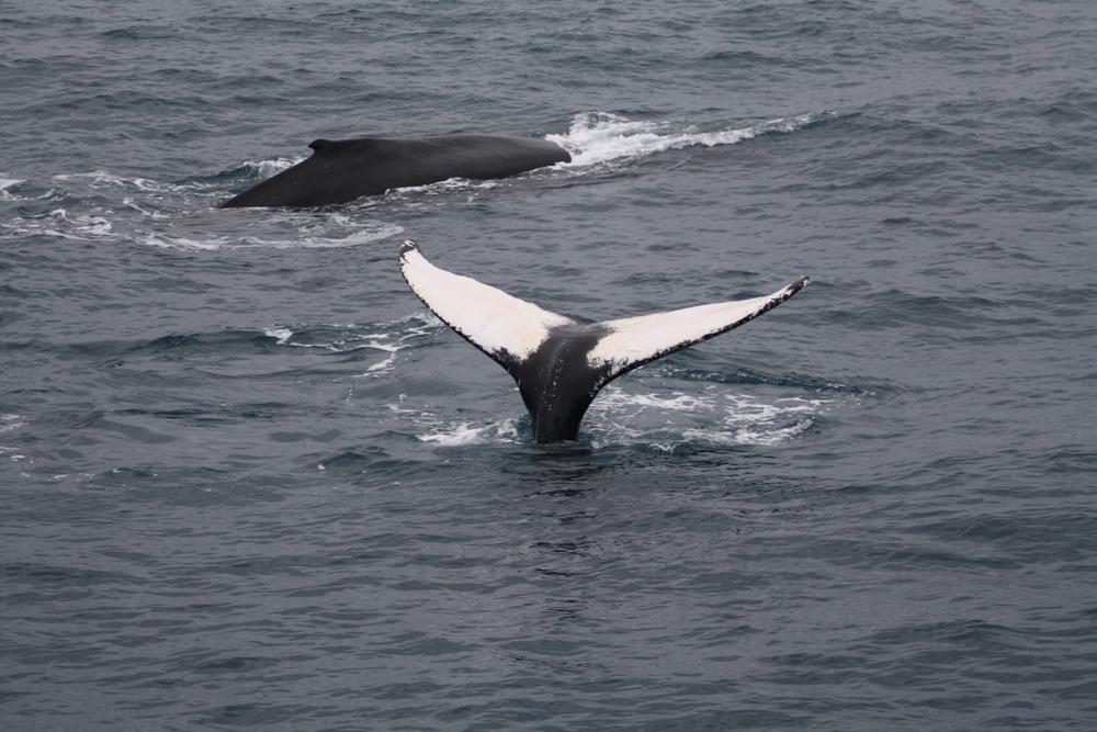 2012-02-25 Humpback Whale 00.JPG