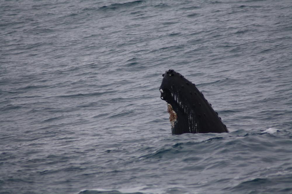 2012-02-25 Humpback Whale 06.JPG