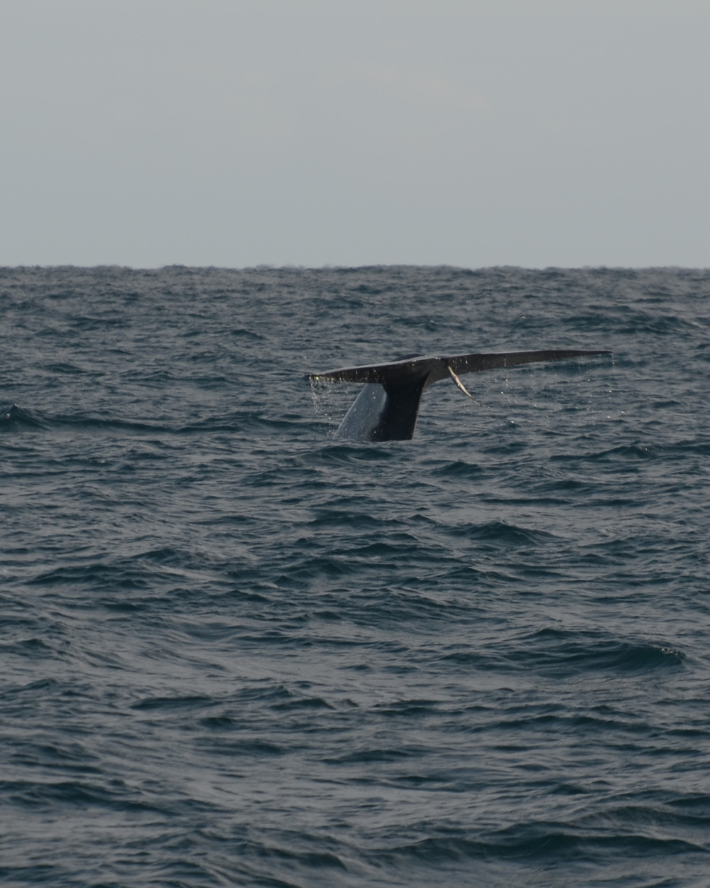 3 Blue Whale fluke.jpg