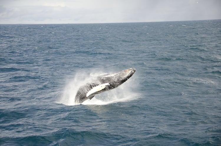 Breaching humpback whale ( Megaptera novaeangliae )