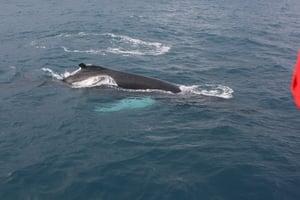 2012-03-15 Humpback Whale 13.JPG
