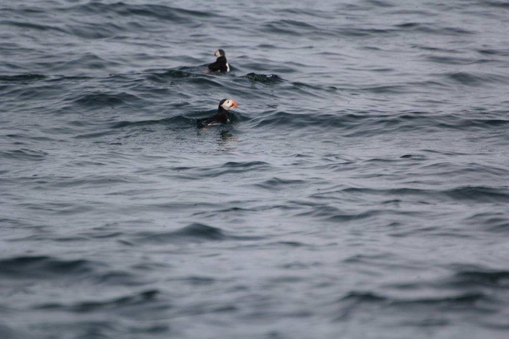 A couple of puffin cuties doing their thing