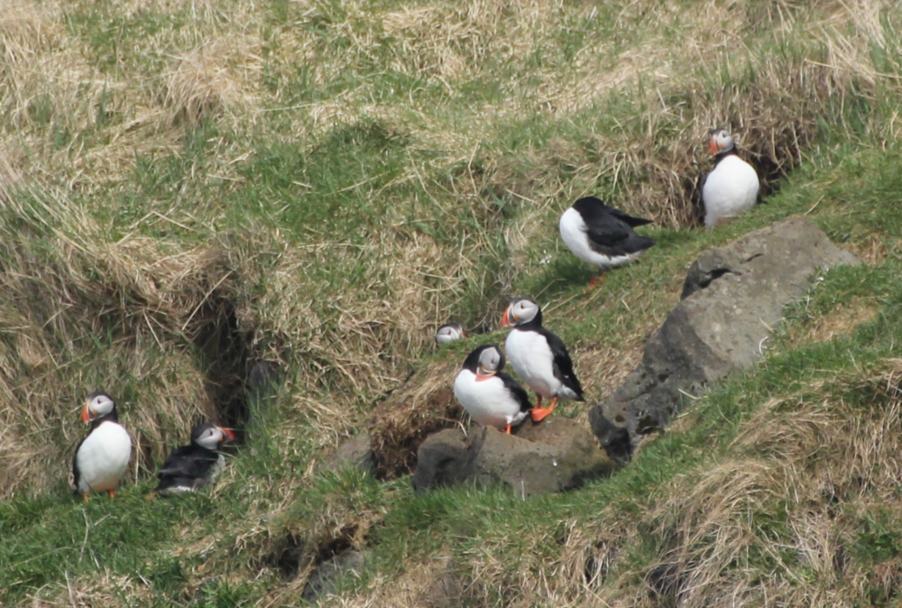 puffins on land_JR_PM.PNG