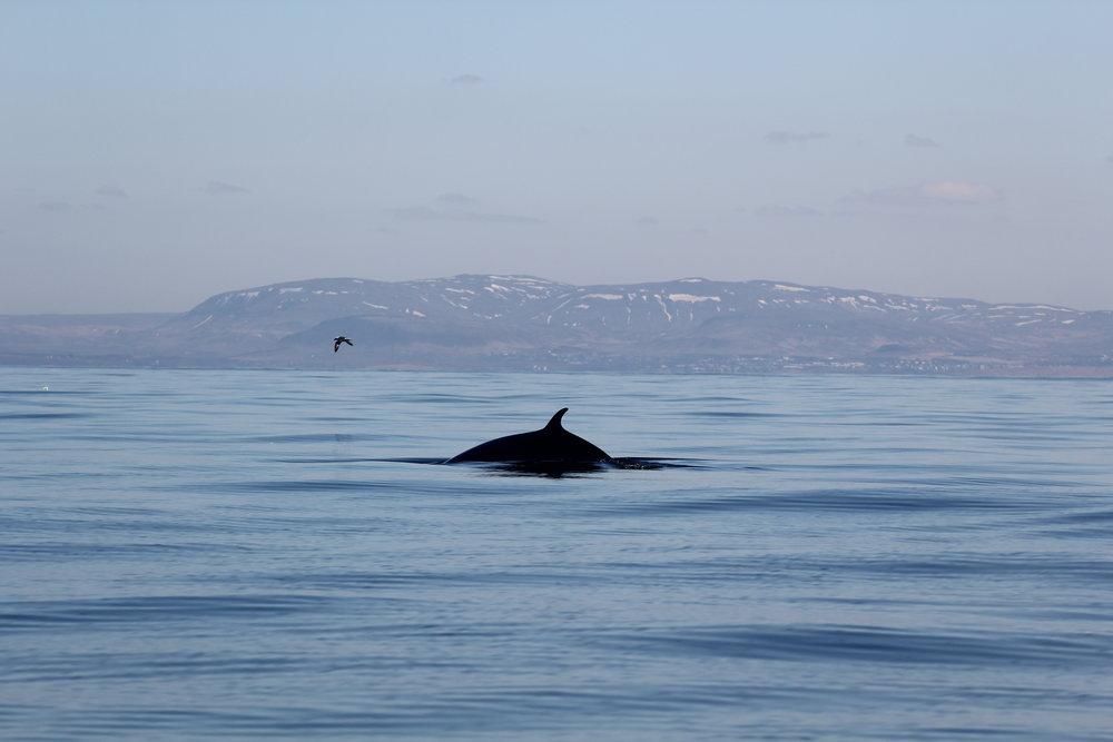 A Minke Whale surfacing