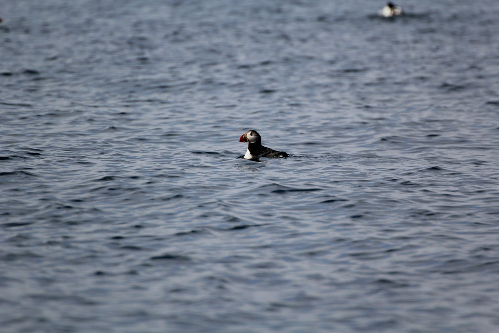 Puffin at the surface - captured by our Naturalist, Jess