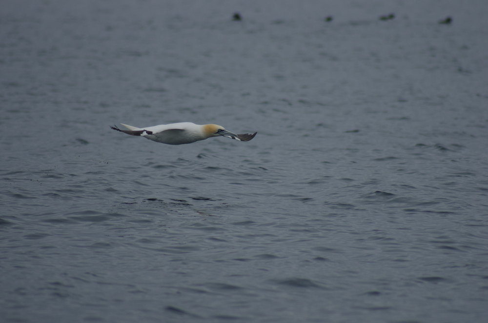 ´Northern Gannet gliding by´ Photo taken by naturalist André