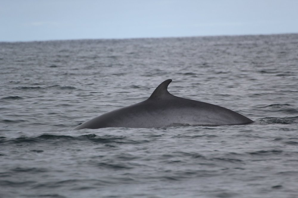 Surfacing Minke after sharing its stinky breath!