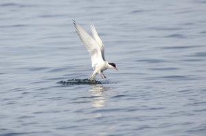 Arctic_Tern.jpg